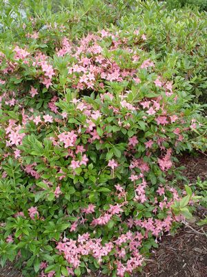 Azalea viscosum Pink and Sweet Pink and Sweet Swamp Azalea (Viscosum Azalea)