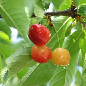 Cherry, Rainier (Prunus Rainier)