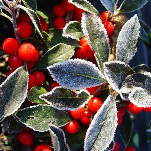 Holly, Ilex verticillata Red Sprite