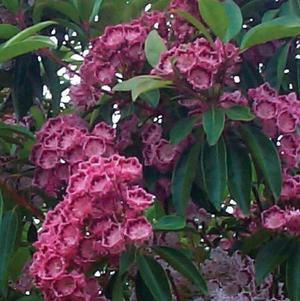 Kalmia lat. Red Bandit Red Bandit Mountain Laurel