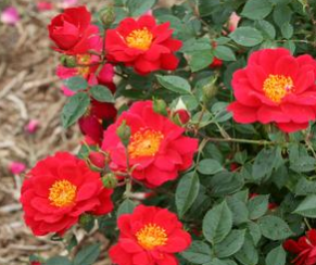 Rosa Oso Easy® Urban Legend® ('ChewPatout') Oso Easy® Urban Legend® Landscape Rose