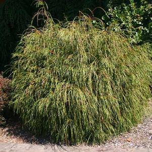 Thuja plicata Whipcord Whipcord Western Red Cedar