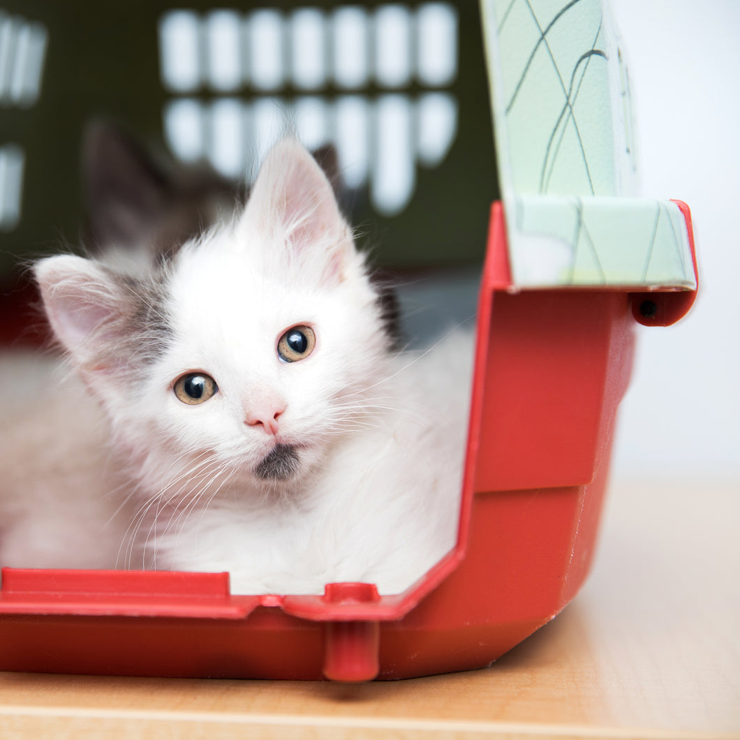kitten in a travel pet carrier
