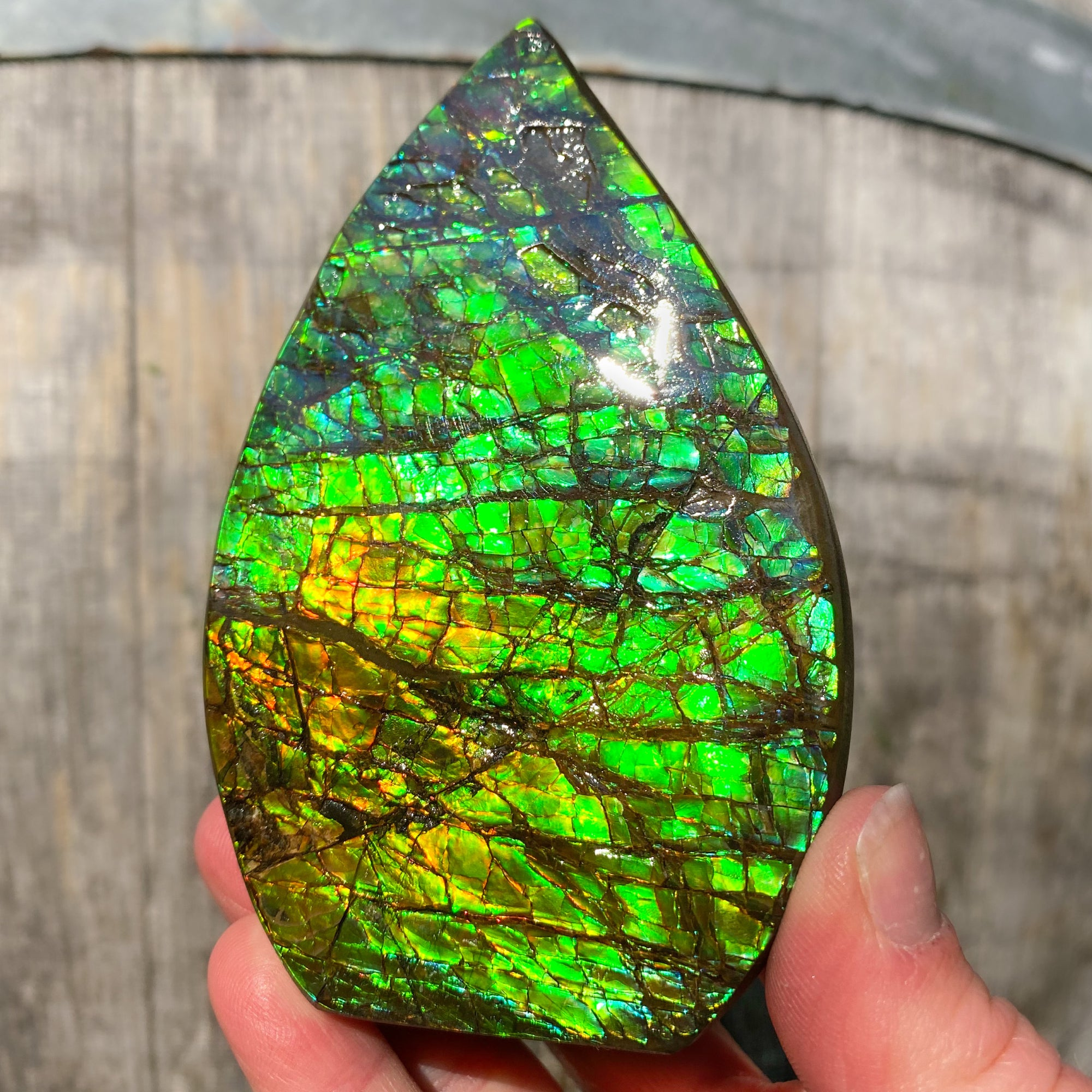 Large Gem Ammolite Ammonite Shell from Alberta Canada