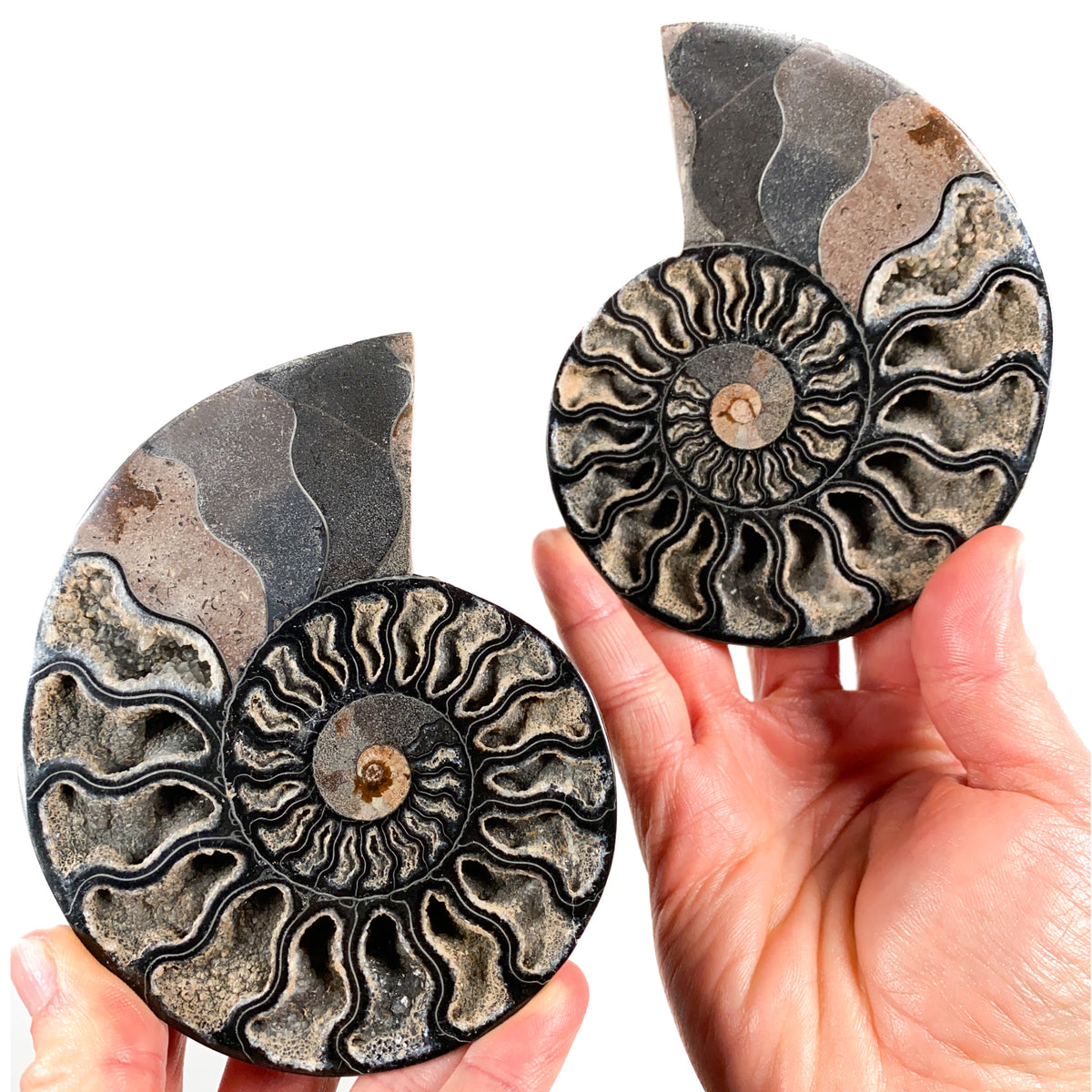Black Ammonite Fossil Pair from Madagascar