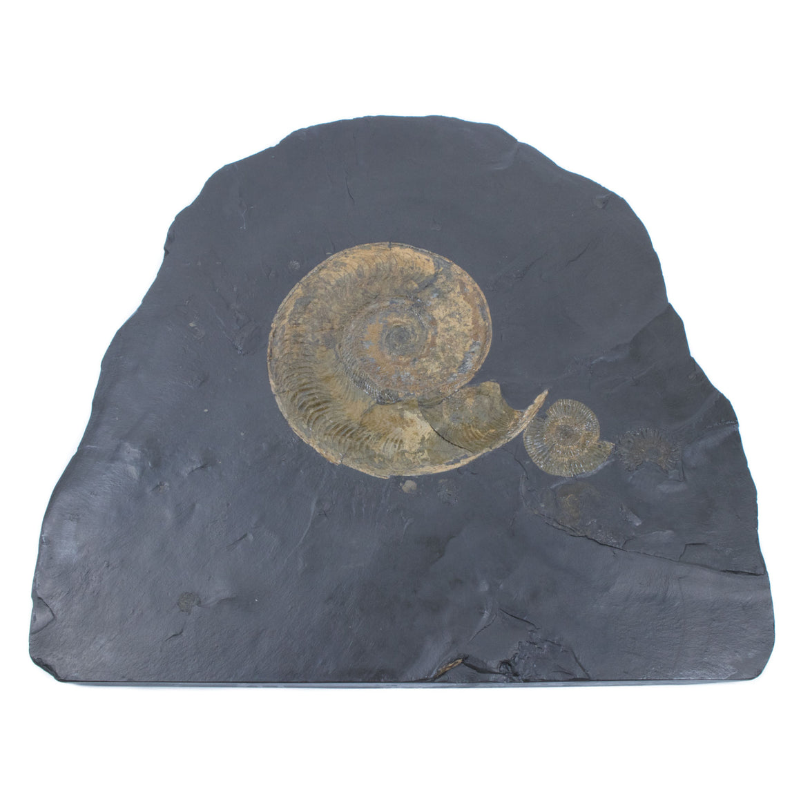 Large Ammonite Fossil Plate, Pyritized Ammonite - Harpoceras and Dactylioceras - Holzmaden Shale Fossil