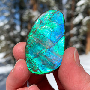Ammolite Ammonite shell