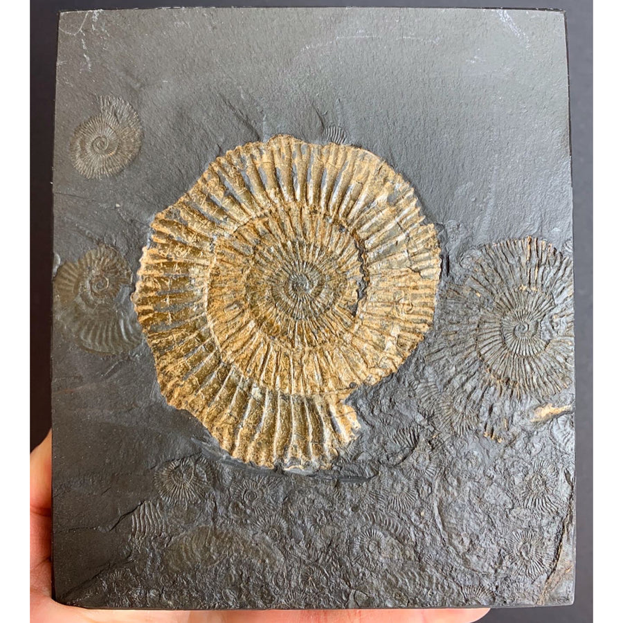Fossil Pyritized Ammonite Dactylioceras
