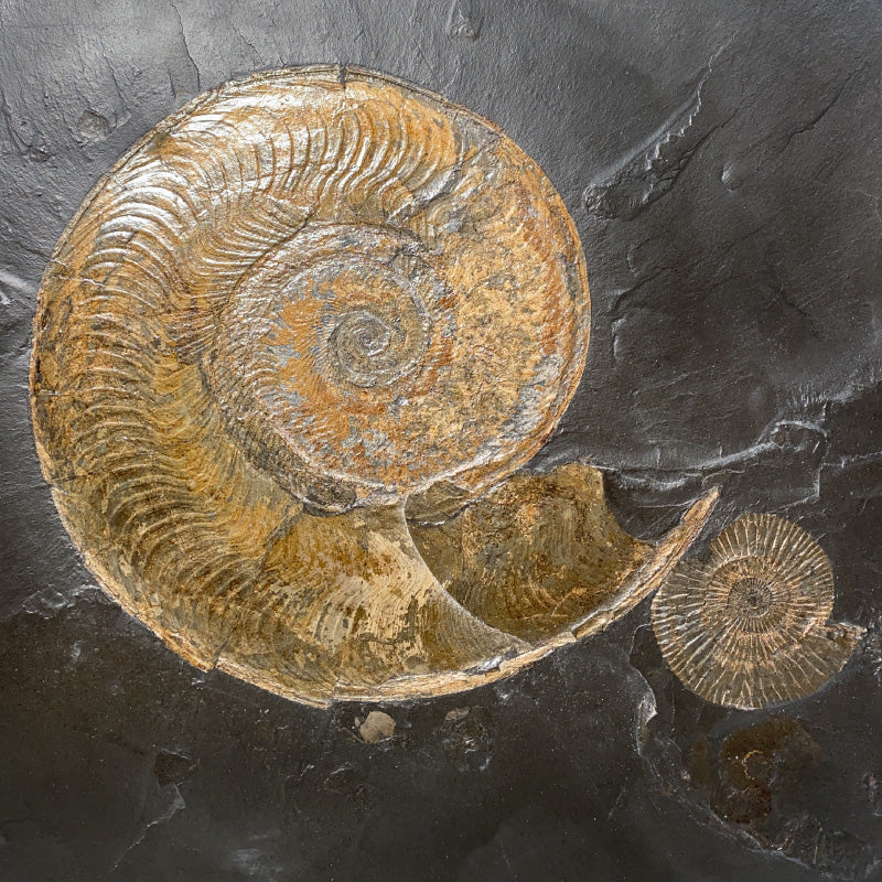 Large Pyritized Fossil Harpoceras and Dactylioceras Ammonite Plate on Shale Matrix from Germany