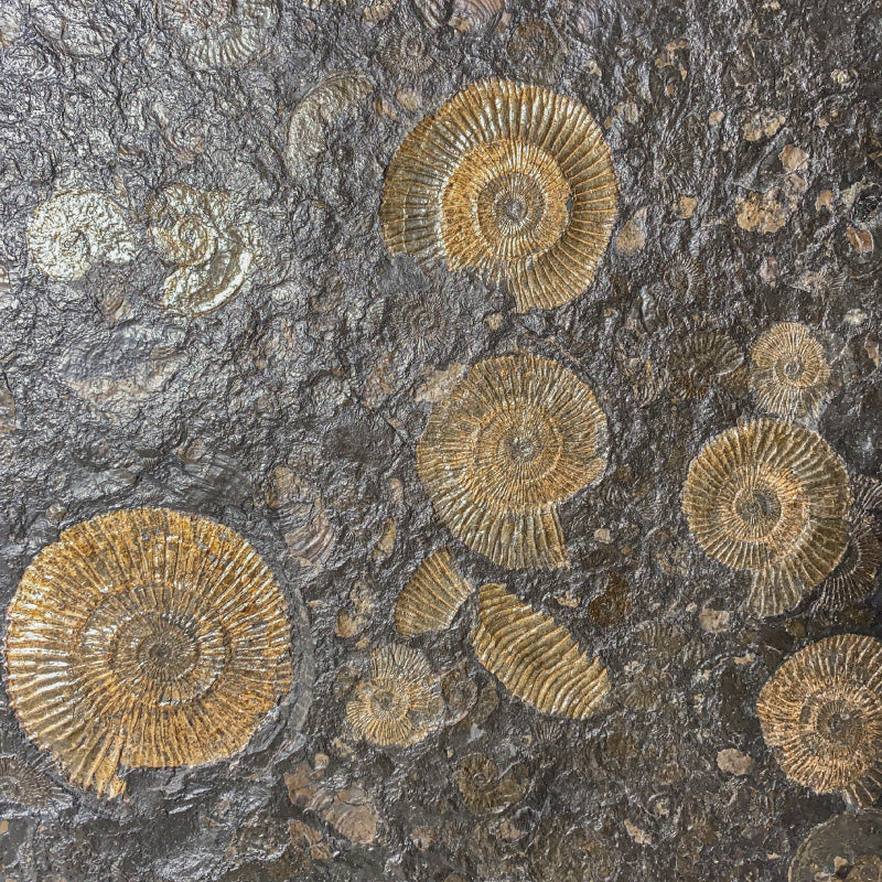 Extra Large Pyritized Fossil Dactylioceras Ammonite Plate on Shale Matrix from Germany