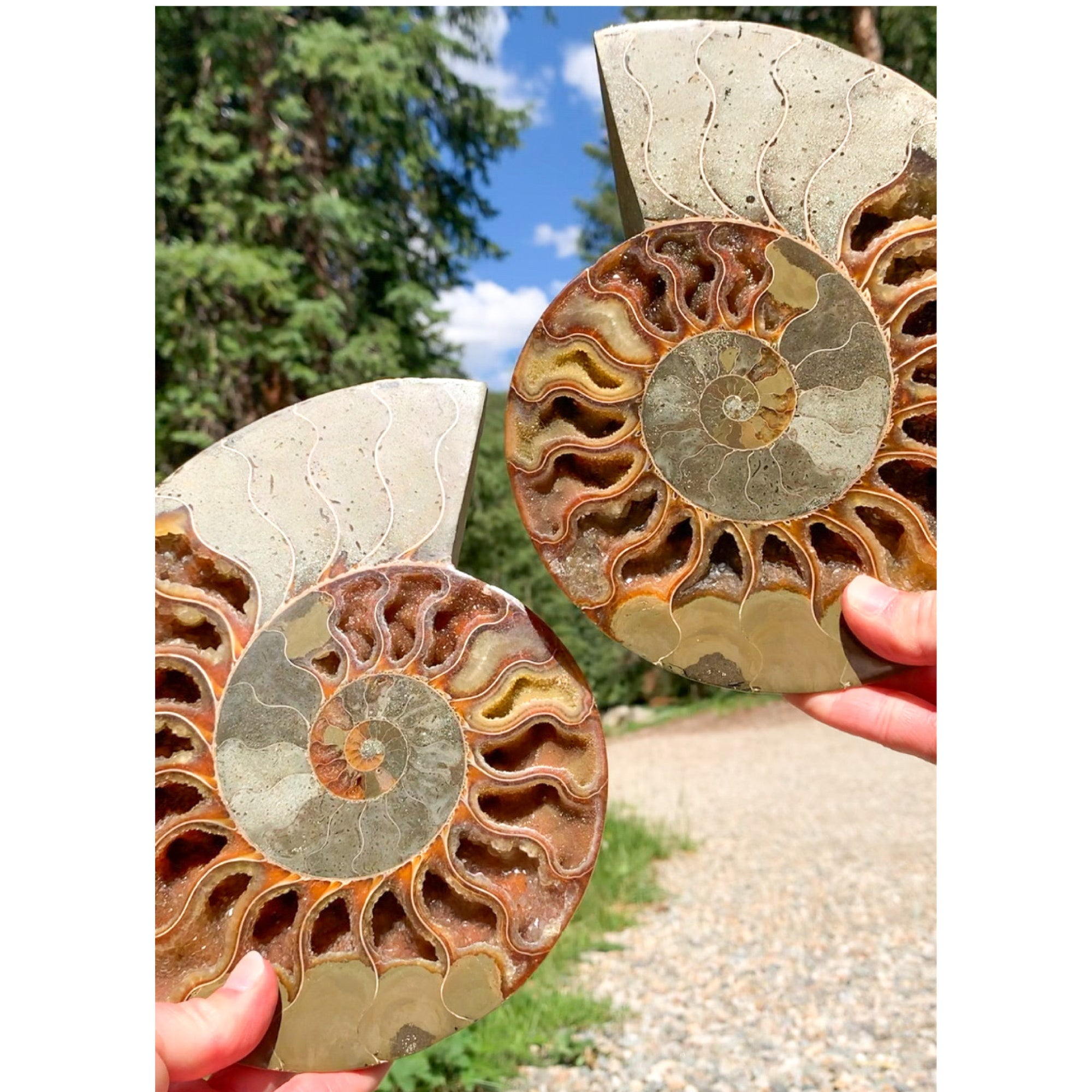 Fossil Ammonite Pair Extra Large