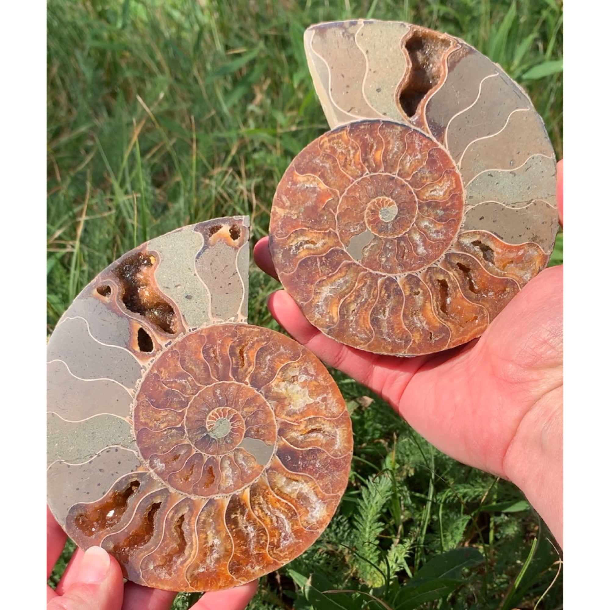 Fossil Ammonite Pair Cut and Polished