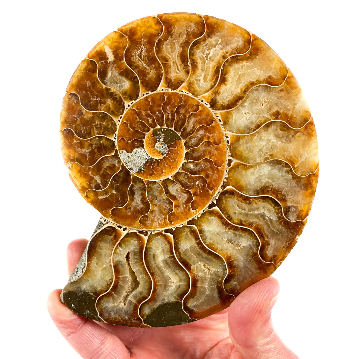 Calcite Crystals inside cut and Polished Ammonite from Madagascar