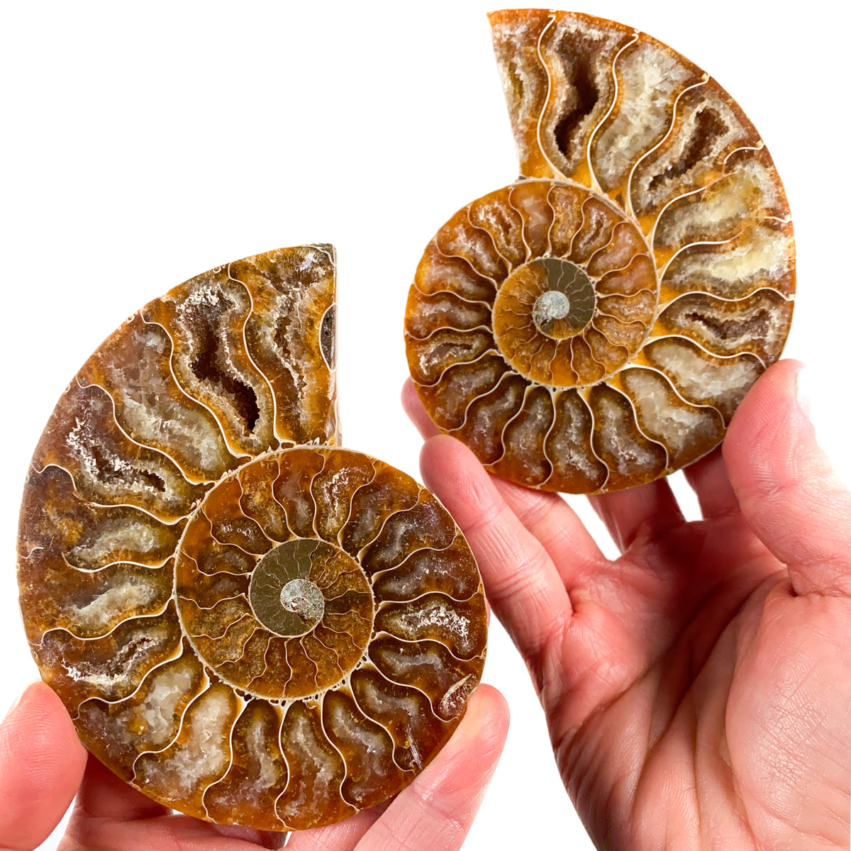Cut and Polished Ammonite Fossil Pair from Madagascar