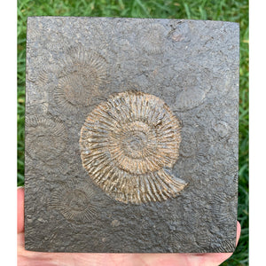 Fossil Ammonite Plate - Dactylioceras