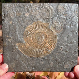 Pyritized Ammonite Fossil Plate