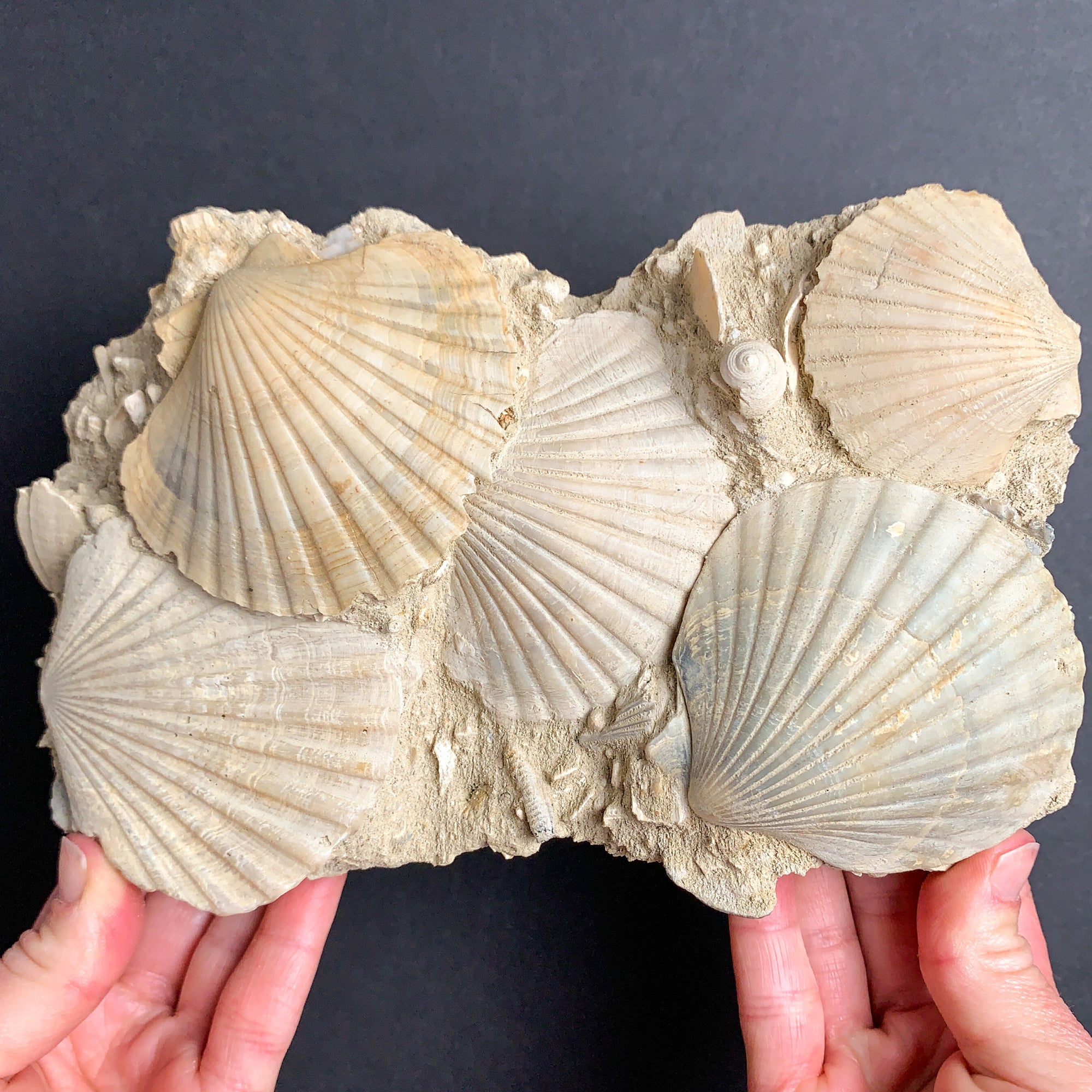 Large Fossilized Pecten Shells from France