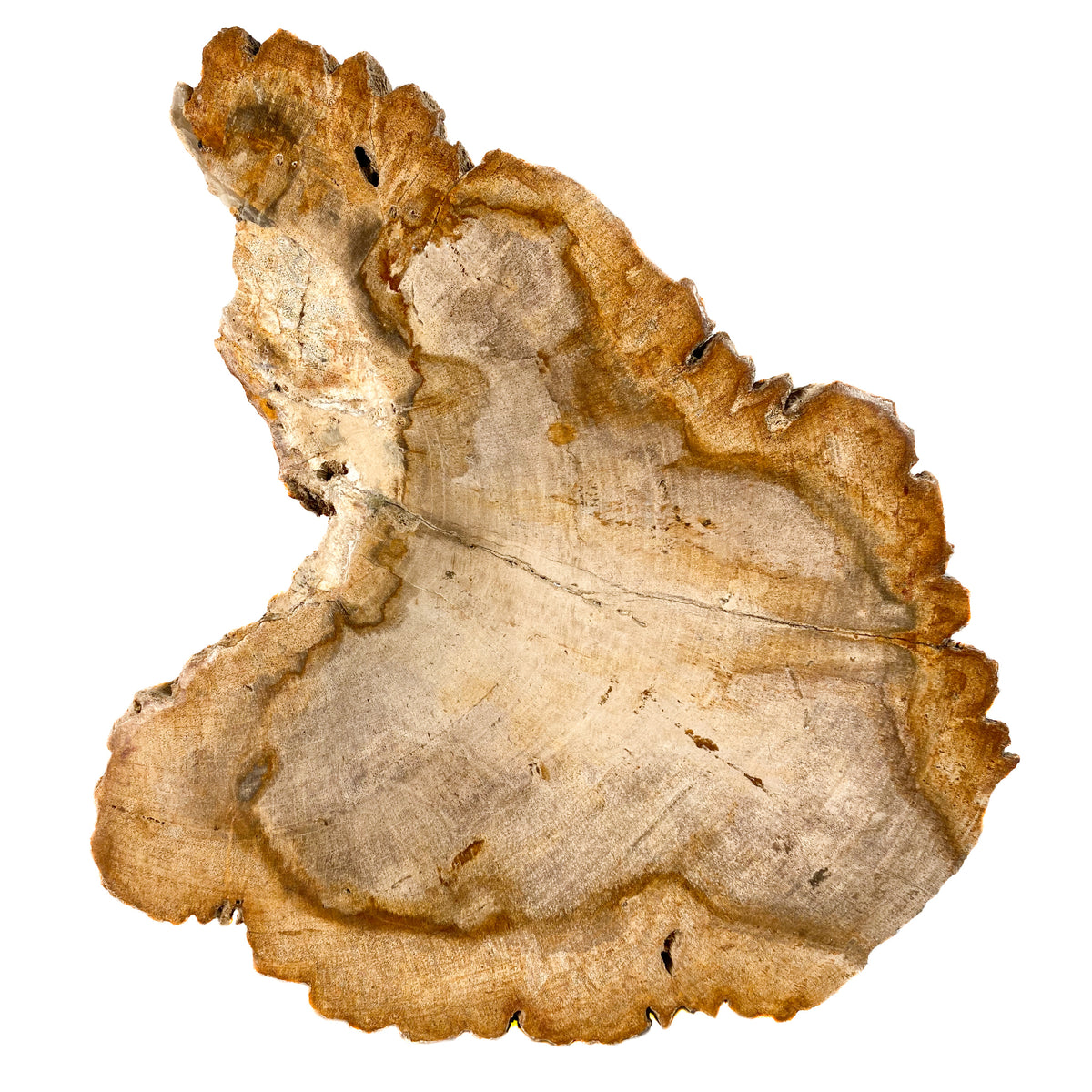 Warm Tone Petrified Wood Bowl from Indonesia