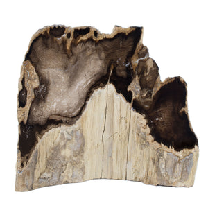 Petrified Wood Stand Up Cherry Oregon