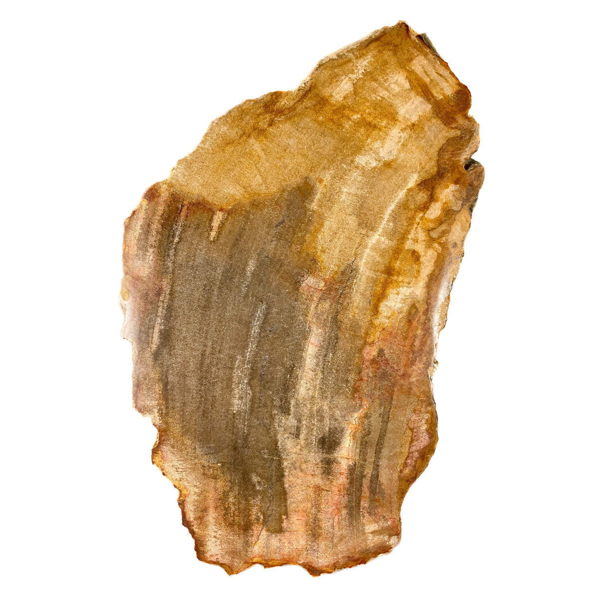 Petrified Wood Slice from Indonesia