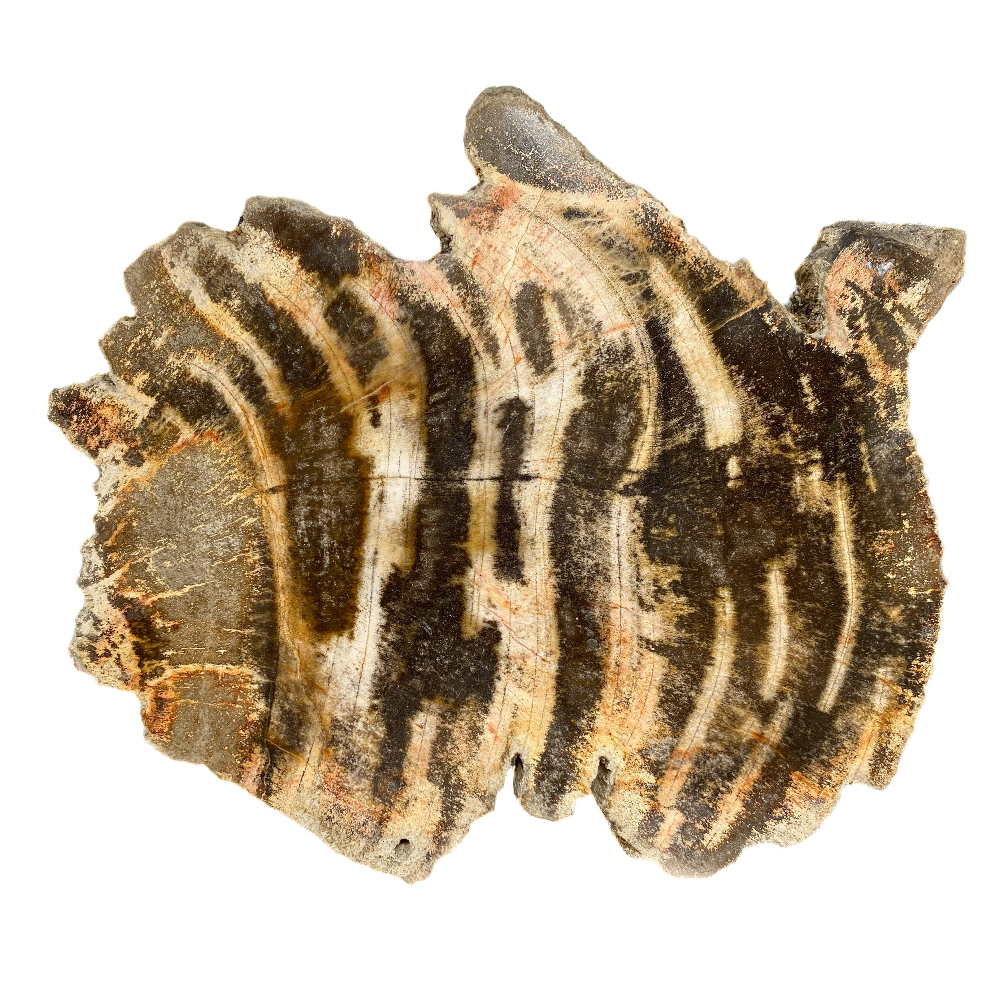 Tiger Stripe Petrified Wood