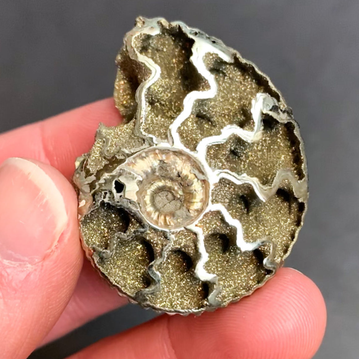 Pyritized Ammonite