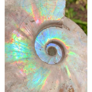 Rainbow Iridescent Ammonite