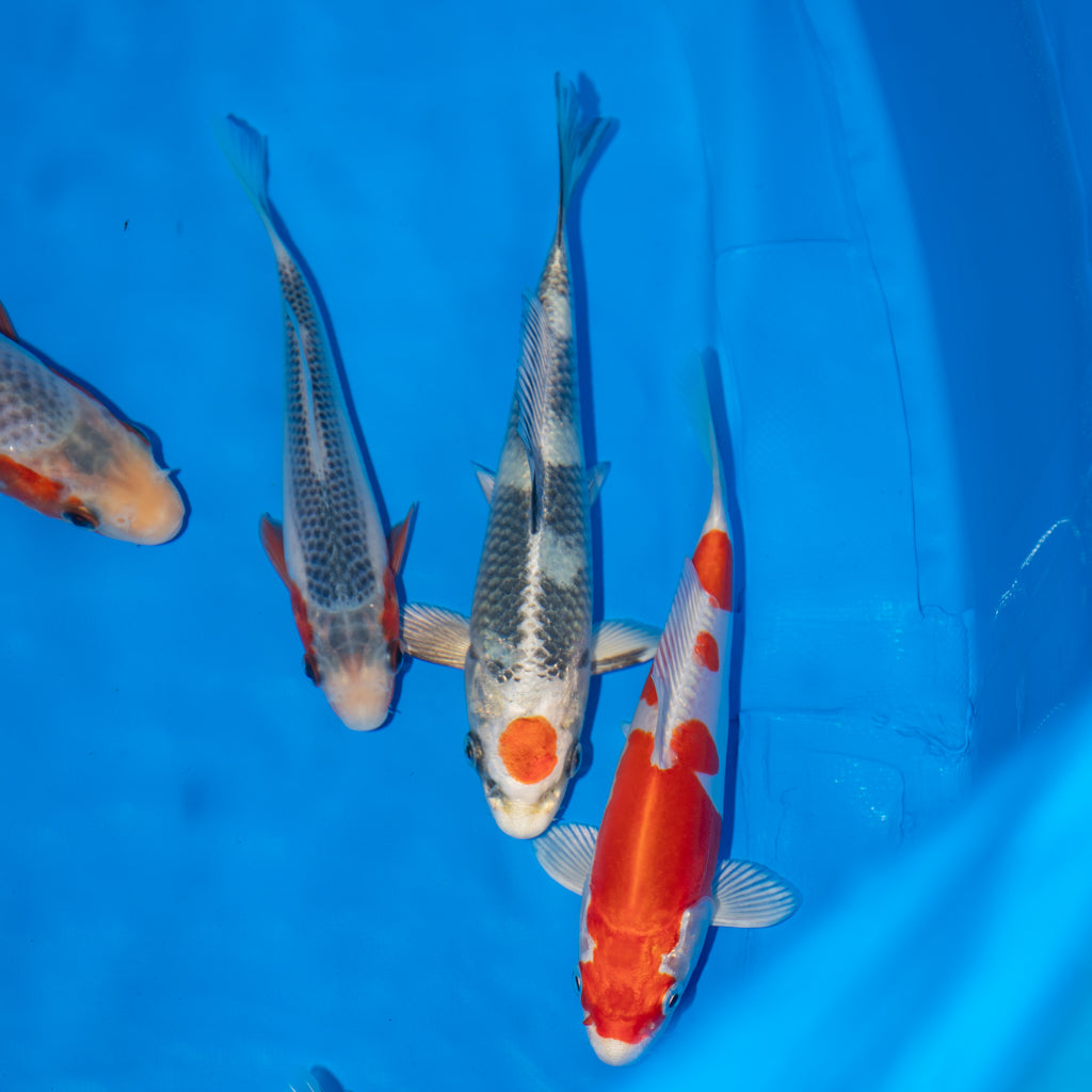 36th All Japan Young Koi Show Results