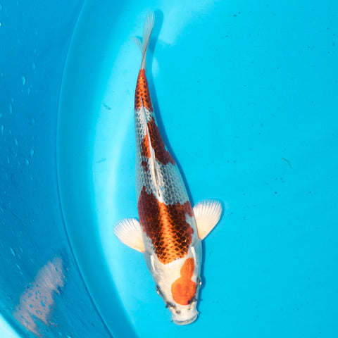 Masaki Aoki Kujaku - High quality hand picked Japanese koi