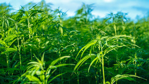 Hemp: The Plant Of The Future