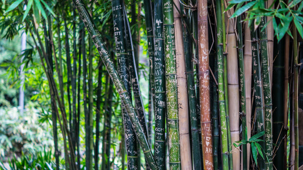 bamboo forest up close