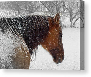 Cody - Canvas Print - The Horse Barn