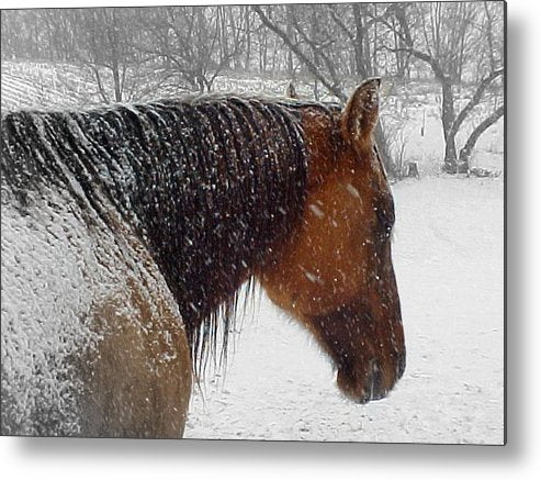 Cody - Metal Print - The Horse Barn