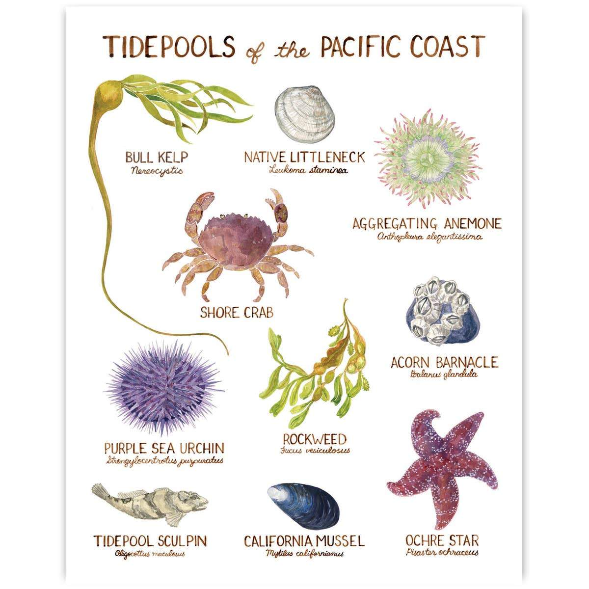 "Tidepools of the Pacific Northwest Art Print - 11"" x 14"""