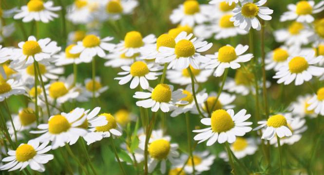 TOP THERAPEUTIC CHAMOMILE BENEFITS FOR SKIN