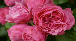NATURAL AND BEAUTIFUL: BENEFITS OF ROSE WATER