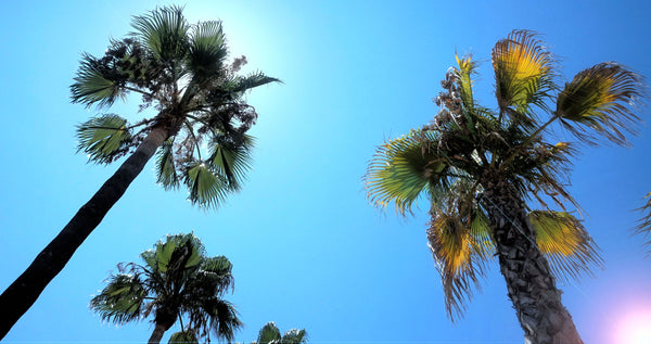Palm tree tops in the sunny blue sky