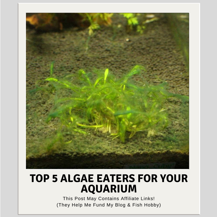 Top 5 Algae Eaters For Your Aquarium