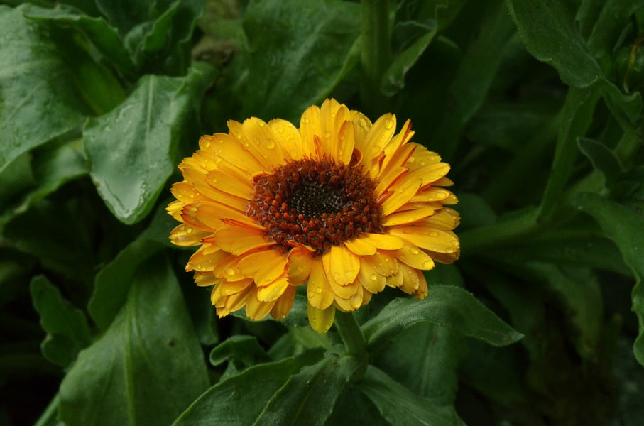 Why is Calendula-Infused Oil Becoming So Popular?