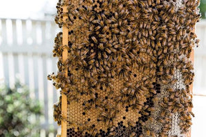 Talking bees with Settler Hives