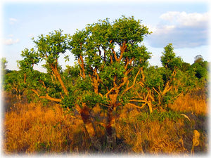 Yohimbine natural energy from the dark continent What lies in the bark of the West African tree Johimba