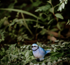 Mini Blue Wren