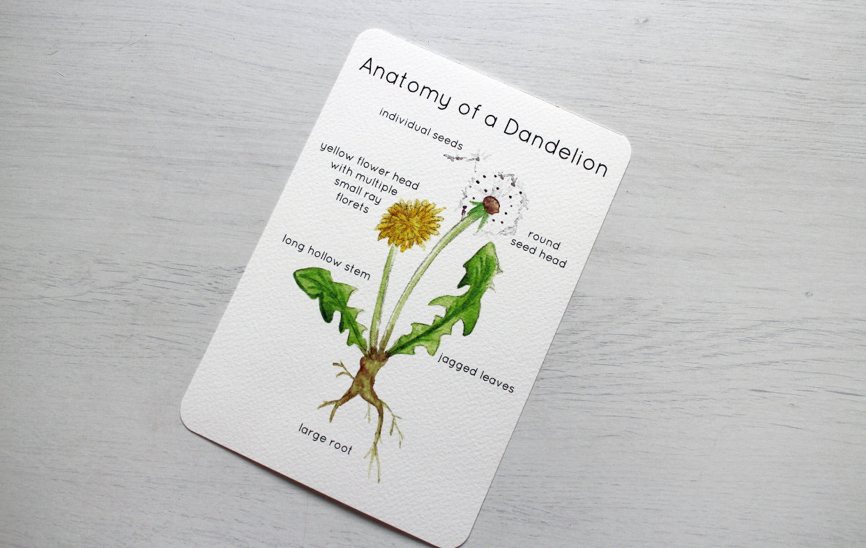 Anatomy & Life  // Fiddlesticks Flashcards