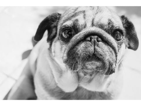 Summer Safety Tips for Dogs pug