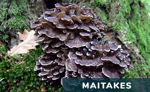 The Top 7 Health Benefits of Maitake Mushrooms - Hen-of-the-wood