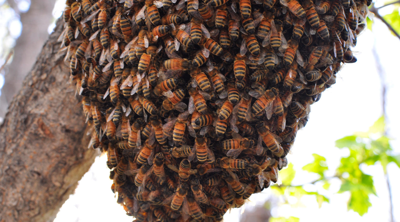 How to Get Bees for your Bee Hive - BackYardHive