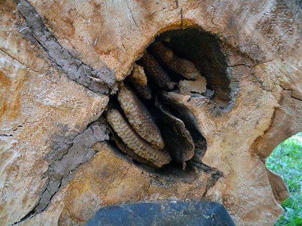 Bee-Nest-Cottonwood-Tree-Hole