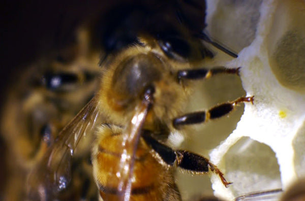 Bee-extreme-Closeup-on-Comb
