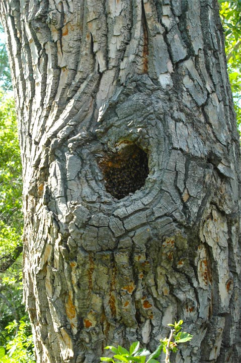 Bee-nest-cottonwood-tree-cavity