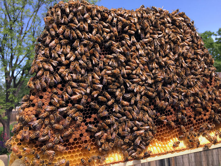 Capped-brood-comb-darker-bees